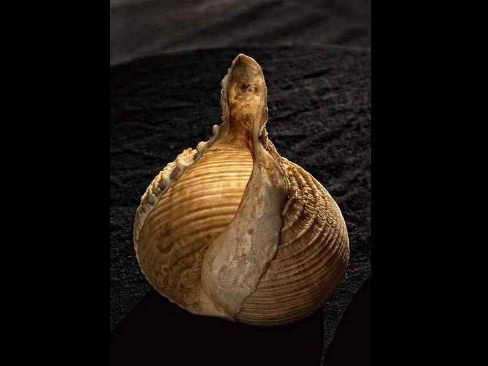 Dans les eaux peu profondes du Queensland, en Australie, les coquillages Cardiidae se déplacent en effectuant des petits bonds.