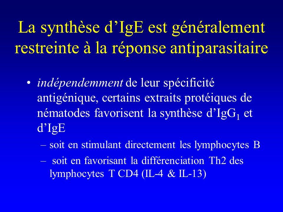 La synthèse dIgE est généralement restreinte à la réponse antiparasitaire indépendemment de leur spécificité antigénique, certains extraits protéiques de nématodes favorisent la synthèse dIgG 1 et dIgE –soit en stimulant directement les lymphocytes B – soit en favorisant la différenciation Th2 des lymphocytes T CD4 (IL-4 & IL-13)