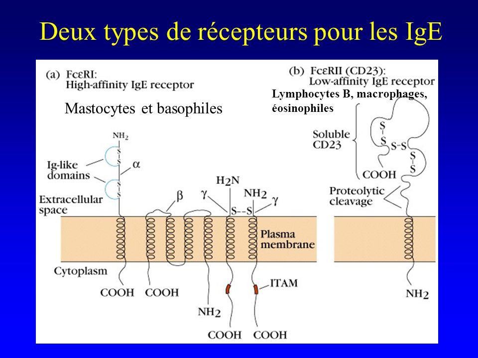 Deux types de récepteurs pour les IgE Mastocytes et basophiles Lymphocytes B, macrophages, éosinophiles