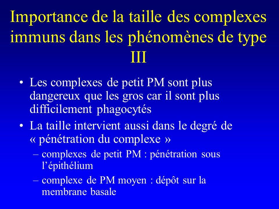 Importance de la taille des complexes immuns dans les phénomènes de type III Les complexes de petit PM sont plus dangereux que les gros car il sont plus difficilement phagocytés La taille intervient aussi dans le degré de « pénétration du complexe » –complexes de petit PM : pénétration sous lépithélium –complexe de PM moyen : dépôt sur la membrane basale