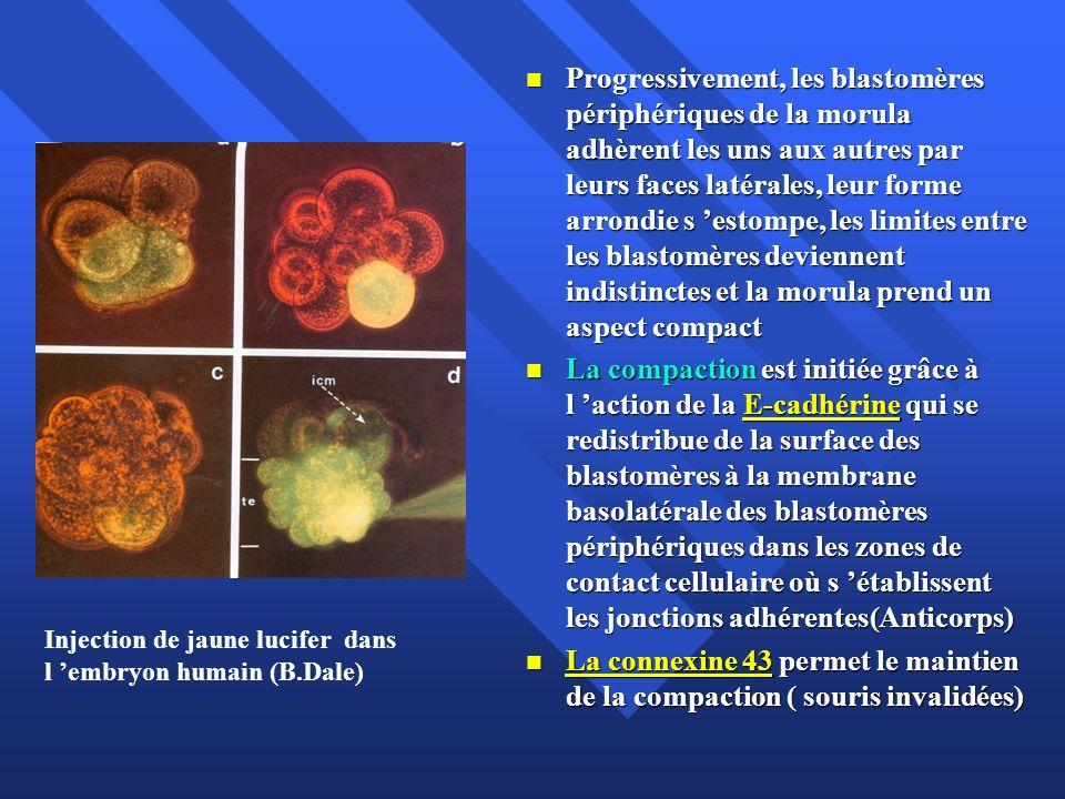 Progressivement, les blastomères périphériques de la morula adhèrent les uns aux autres par leurs faces latérales, leur forme arrondie s estompe, les