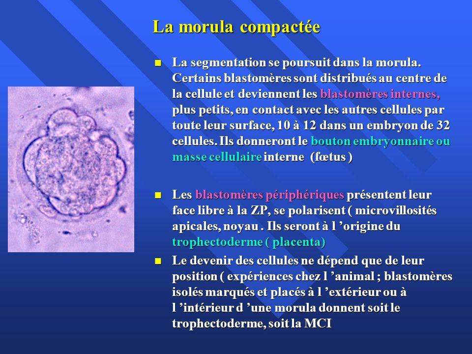 La morula compactée La segmentation se poursuit dans la morula. Certains blastomères sont distribués au centre de la cellule et deviennent les blastom
