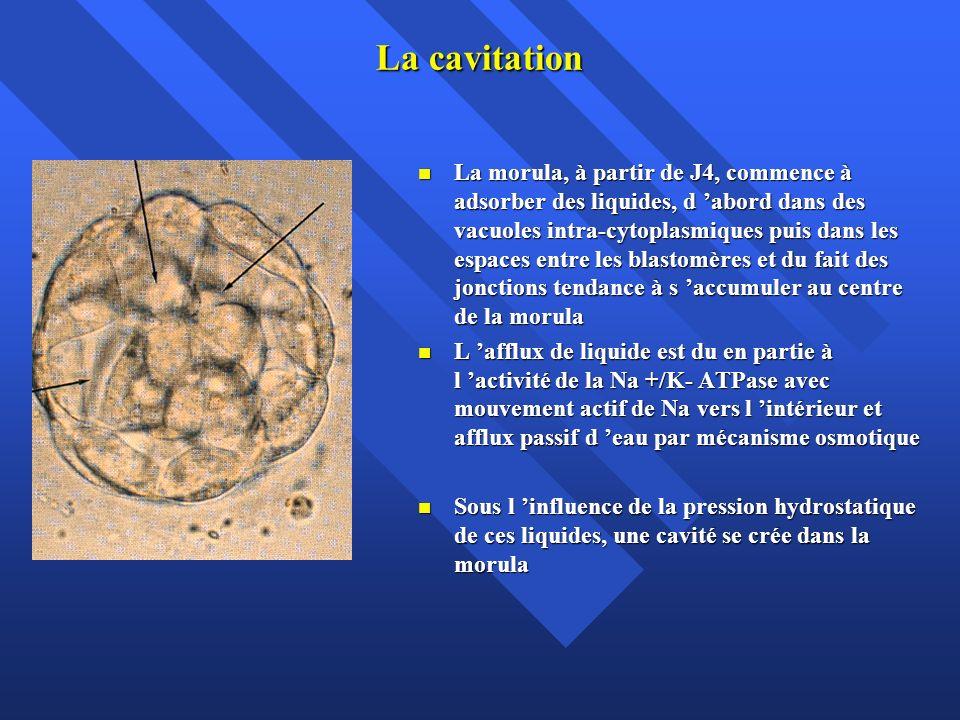 La cavitation La morula, à partir de J4, commence à adsorber des liquides, d abord dans des vacuoles intra-cytoplasmiques puis dans les espaces entre