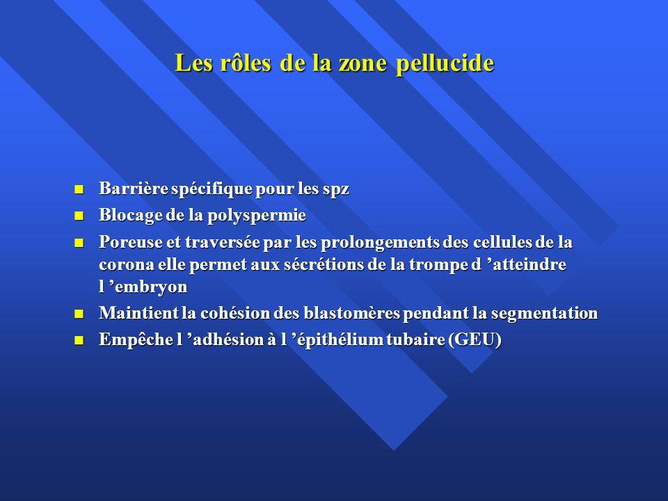 Les rôles de la zone pellucide Barrière spécifique pour les spz Barrière spécifique pour les spz Blocage de la polyspermie Blocage de la polyspermie P