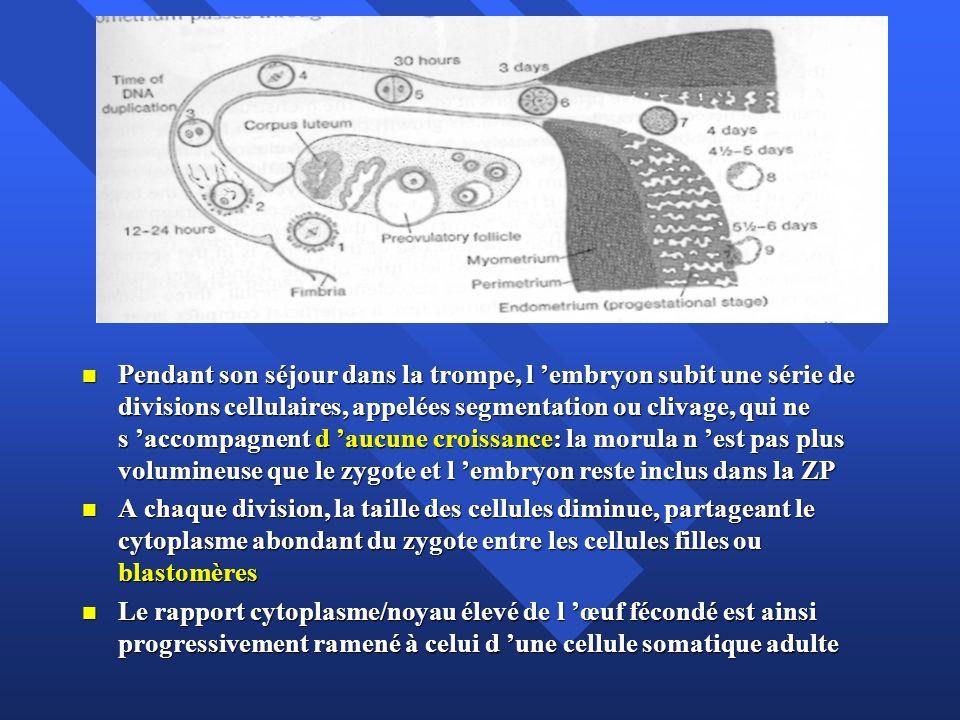 Les rôles de la zone pellucide Barrière spécifique pour les spz Barrière spécifique pour les spz Blocage de la polyspermie Blocage de la polyspermie Poreuse et traversée par les prolongements des cellules de la corona elle permet aux sécrétions de la trompe d atteindre l embryon Poreuse et traversée par les prolongements des cellules de la corona elle permet aux sécrétions de la trompe d atteindre l embryon Maintient la cohésion des blastomères pendant la segmentation Maintient la cohésion des blastomères pendant la segmentation Empêche l adhésion à l épithélium tubaire (GEU) Empêche l adhésion à l épithélium tubaire (GEU)