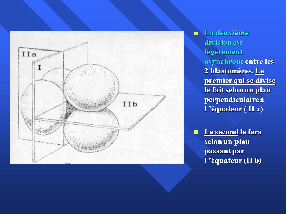 La deuxième division est légèrement asynchrone entre les 2 blastomères. Le premier qui se divise le fait selon un plan perpendiculaire à l équateur (
