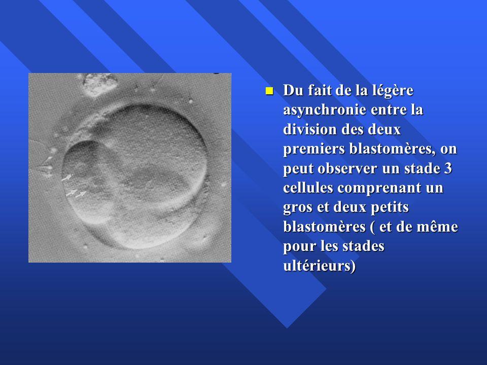 Cinétique de division Pendant les premiers jours du développement embryonnaire les divisions se succèdent à un rythme caractéristique de l espèce : environ 1/ jour chez l humain Pendant les premiers jours du développement embryonnaire les divisions se succèdent à un rythme caractéristique de l espèce : environ 1/ jour chez l humain Expulsion du GP2: 2 heures après la fusion; formation des PN : 5-7h; apposition: 17h; syngamie: 20h; stade 2 cellules à partie de 25-27 h; stade 4 cellules à J2; stade 8 cellules à J3; stade 16 cellules (morula) à J4 Expulsion du GP2: 2 heures après la fusion; formation des PN : 5-7h; apposition: 17h; syngamie: 20h; stade 2 cellules à partie de 25-27 h; stade 4 cellules à J2; stade 8 cellules à J3; stade 16 cellules (morula) à J4 La cinétique de division est le paramètre le plus représentatif de la qualité de l embryon préimplantatoire.