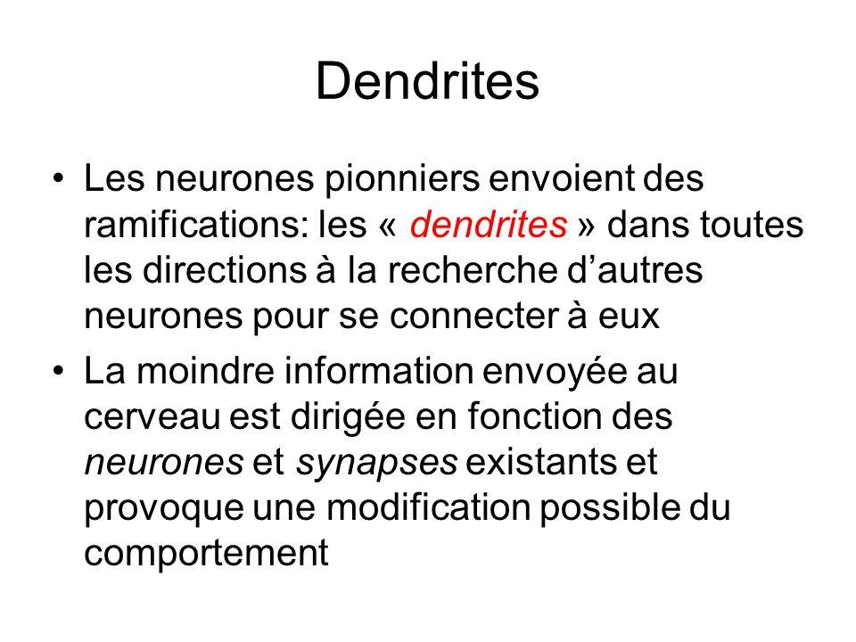 Dendrites Les neurones pionniers envoient des ramifications: les « dendrites » dans toutes les directions à la recherche dautres neurones pour se conn