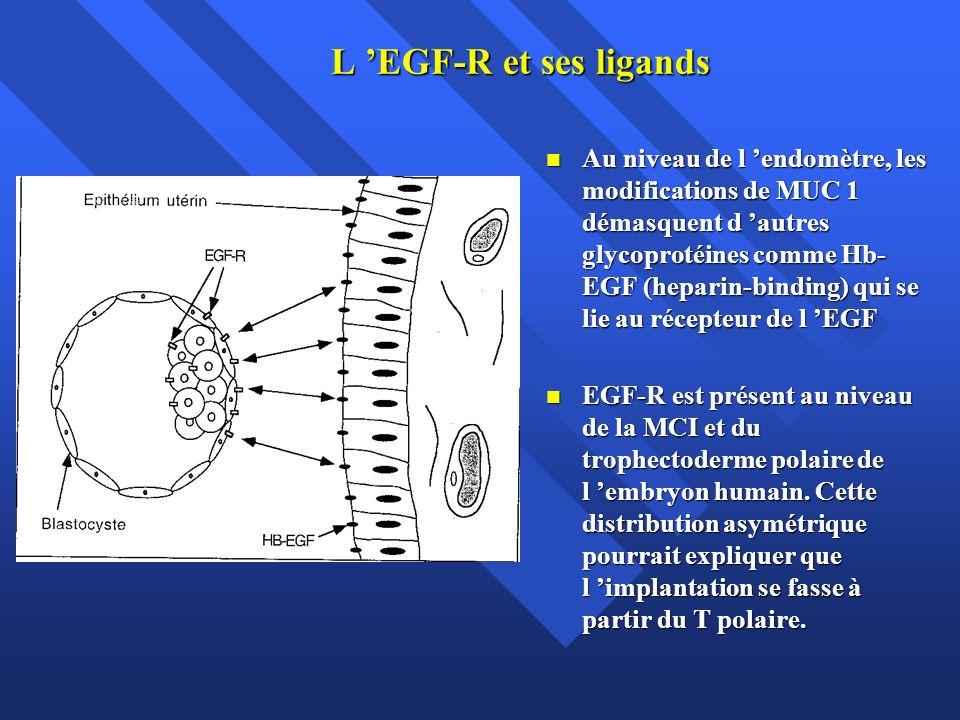 L EGF-R et ses ligands Au niveau de l endomètre, les modifications de MUC 1 démasquent d autres glycoprotéines comme Hb- EGF (heparin-binding) qui se