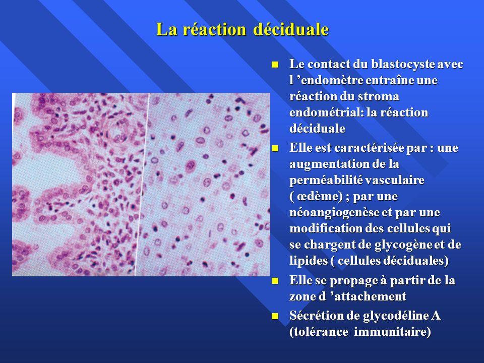 La réaction déciduale Le contact du blastocyste avec l endomètre entraîne une réaction du stroma endométrial: la réaction déciduale Le contact du blas