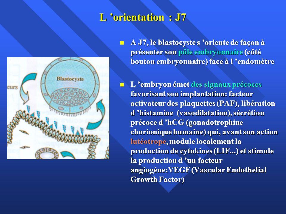 L apposition Au début de la phase lutéale, sous l action de la Progestérone (P), les microvillosités apicales des cellules épithéliales de l endomètre deviennent plus courtes Au début de la phase lutéale, sous l action de la Progestérone (P), les microvillosités apicales des cellules épithéliales de l endomètre deviennent plus courtes On voit apparaître des protrusions apicales bulbeuses; les pinopodes.