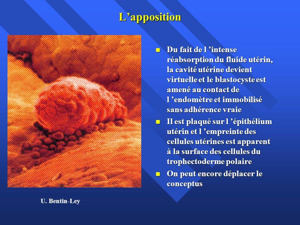L invasion Dès le contact avec l épithélium utérin, l œuf subit une croissance qui est surtout due à la croissance du trophoblaste Dès le contact avec l épithélium utérin, l œuf subit une croissance qui est surtout due à la croissance du trophoblaste Le trophoblaste résulte de la différentiation du trophectoderme polaire en 2 couches distinctes: 1) la couche interne qui garde la structure initiale et se divise activement: le cytotrophoblaste Le trophoblaste résulte de la différentiation du trophectoderme polaire en 2 couches distinctes: 1) la couche interne qui garde la structure initiale et se divise activement: le cytotrophoblaste 2) la couche externe, faite des cellules filles qui ont tendance à fusionner entre elles pour former un syncitium (nappe cytoplasmique contenant de nombreux noyaux): le syncitio trophoblaste 2) la couche externe, faite des cellules filles qui ont tendance à fusionner entre elles pour former un syncitium (nappe cytoplasmique contenant de nombreux noyaux): le syncitio trophoblaste C est le syncitiotrophoblaste (ST) qui pénètre donc le premier et est au contact de l endomètre.