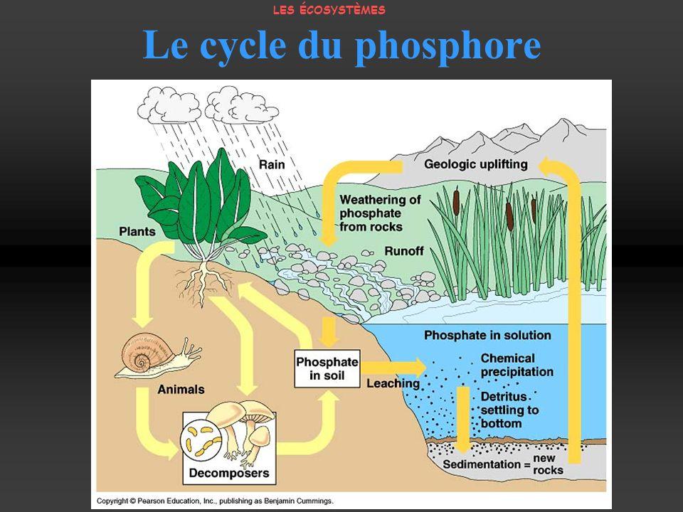 Le cycle du phosphore LES ÉCOSYSTÈMES