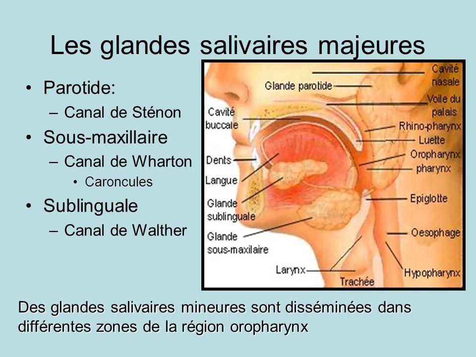 Les glandes salivaires majeures Parotide: –Canal de Sténon Sous-maxillaire –Canal de Wharton Caroncules Sublinguale –Canal de Walther Des glandes salivaires mineures sont disséminées dans différentes zones de la région oropharynx