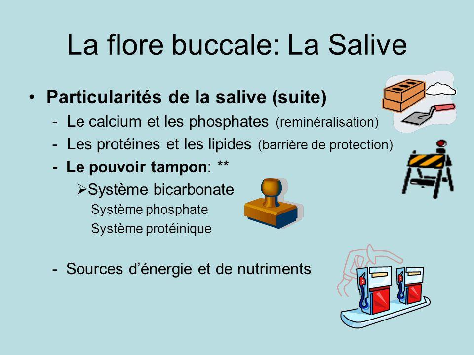 La flore buccale: La Salive Particularités de la salive (suite) -Le calcium et les phosphates (reminéralisation) -Les protéines et les lipides (barrière de protection) - Le pouvoir tampon: ** Système bicarbonate Système phosphate Système protéinique - Sources dénergie et de nutriments