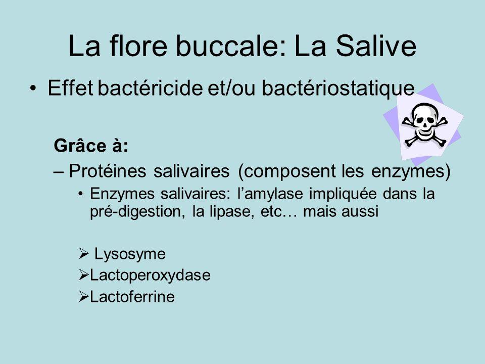 La flore buccale: La Salive Effet bactéricide et/ou bactériostatique Grâce à: –Protéines salivaires (composent les enzymes) Enzymes salivaires: lamylase impliquée dans la pré-digestion, la lipase, etc… mais aussi Lysosyme Lactoperoxydase Lactoferrine