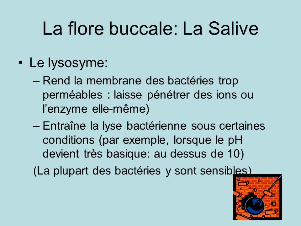 La flore buccale: La Salive Le lysosyme: –Rend la membrane des bactéries trop perméables : laisse pénétrer des ions ou lenzyme elle-même) –Entraîne la lyse bactérienne sous certaines conditions (par exemple, lorsque le pH devient très basique: au dessus de 10) (La plupart des bactéries y sont sensibles)