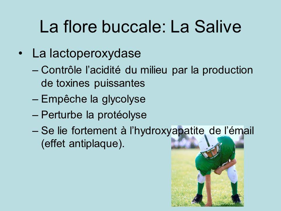 La flore buccale: La Salive La lactoperoxydase –Contrôle lacidité du milieu par la production de toxines puissantes –Empêche la glycolyse –Perturbe la protéolyse –Se lie fortement à lhydroxyapatite de lémail (effet antiplaque).