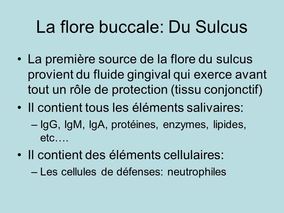 La flore buccale: Du Sulcus La première source de la flore du sulcus provient du fluide gingival qui exerce avant tout un rôle de protection (tissu conjonctif) Il contient tous les éléments salivaires: –IgG, IgM, IgA, protéines, enzymes, lipides, etc….