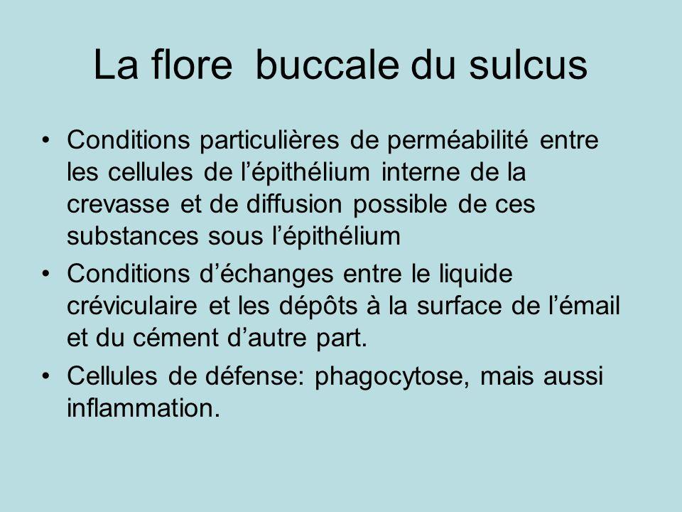 La flore buccale du sulcus Conditions particulières de perméabilité entre les cellules de lépithélium interne de la crevasse et de diffusion possible de ces substances sous lépithélium Conditions déchanges entre le liquide créviculaire et les dépôts à la surface de lémail et du cément dautre part.