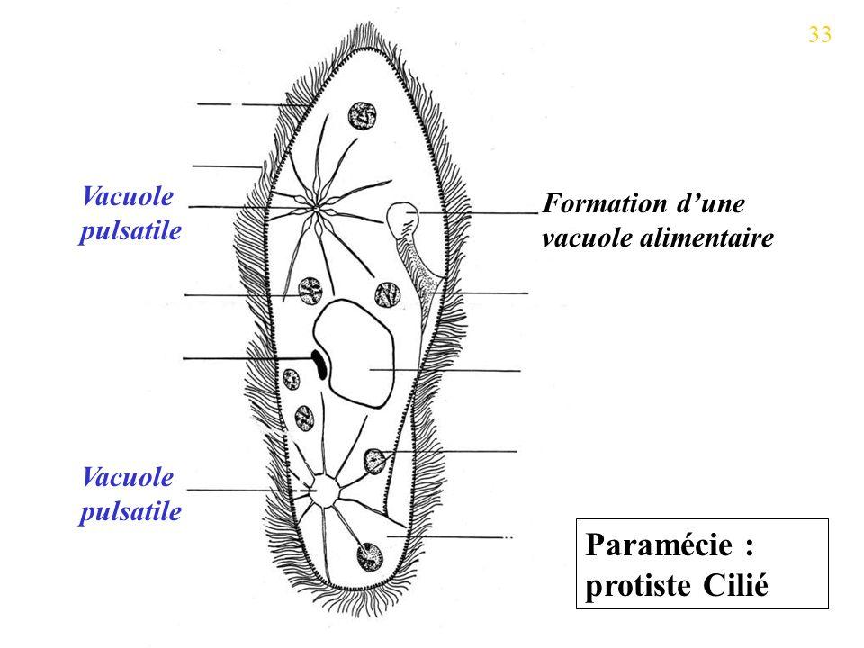 Vacuole pulsatile Formation dune vacuole alimentaire Paramécie : protiste Cilié 33
