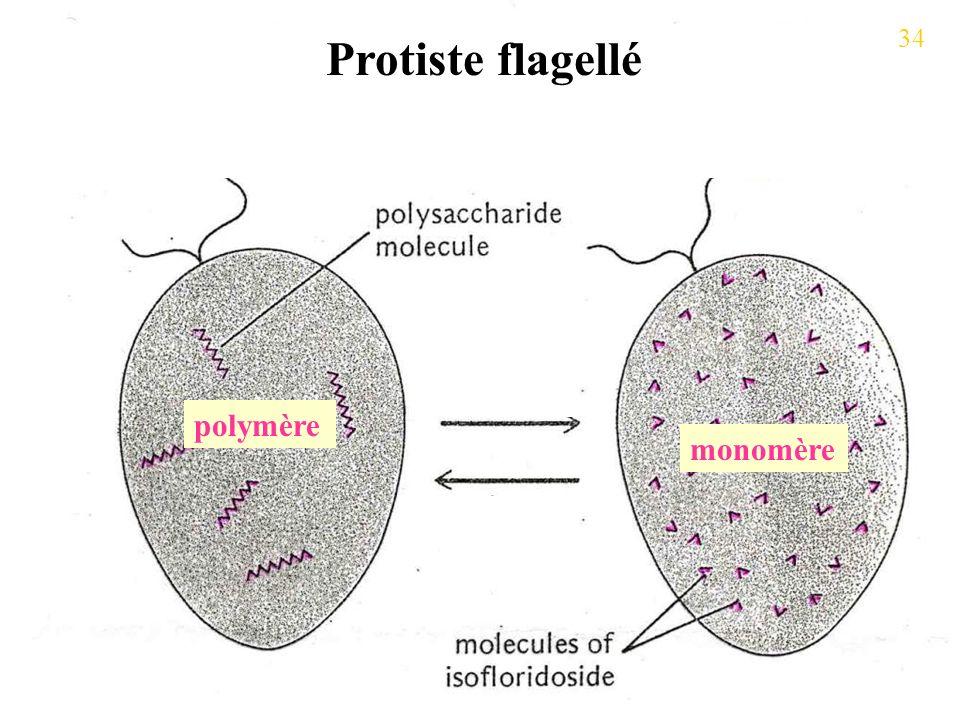 Protiste flagellé 34 polymère monomère