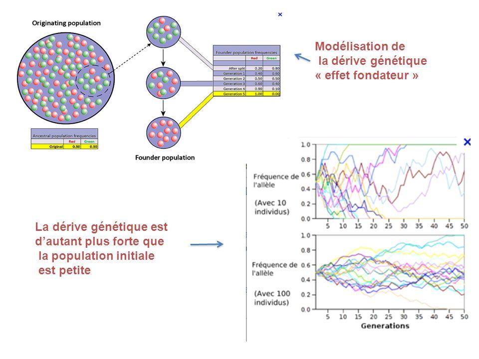 La dérive génétique est dautant plus forte que la population initiale est petite Modélisation de la dérive génétique « effet fondateur »
