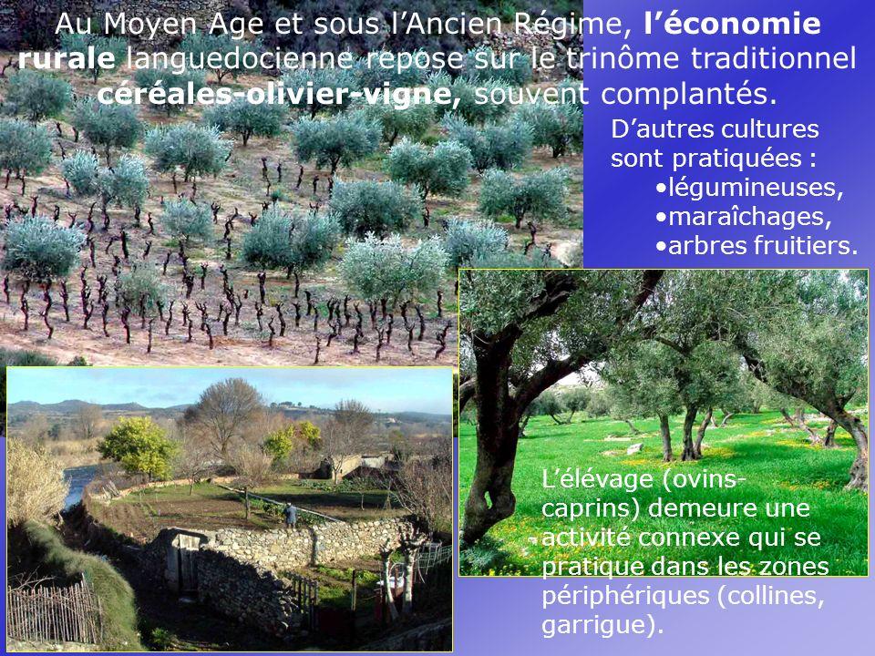 Au Moyen Age et sous lAncien Régime, léconomie rurale languedocienne repose sur le trinôme traditionnel céréales-olivier-vigne, souvent complantés.