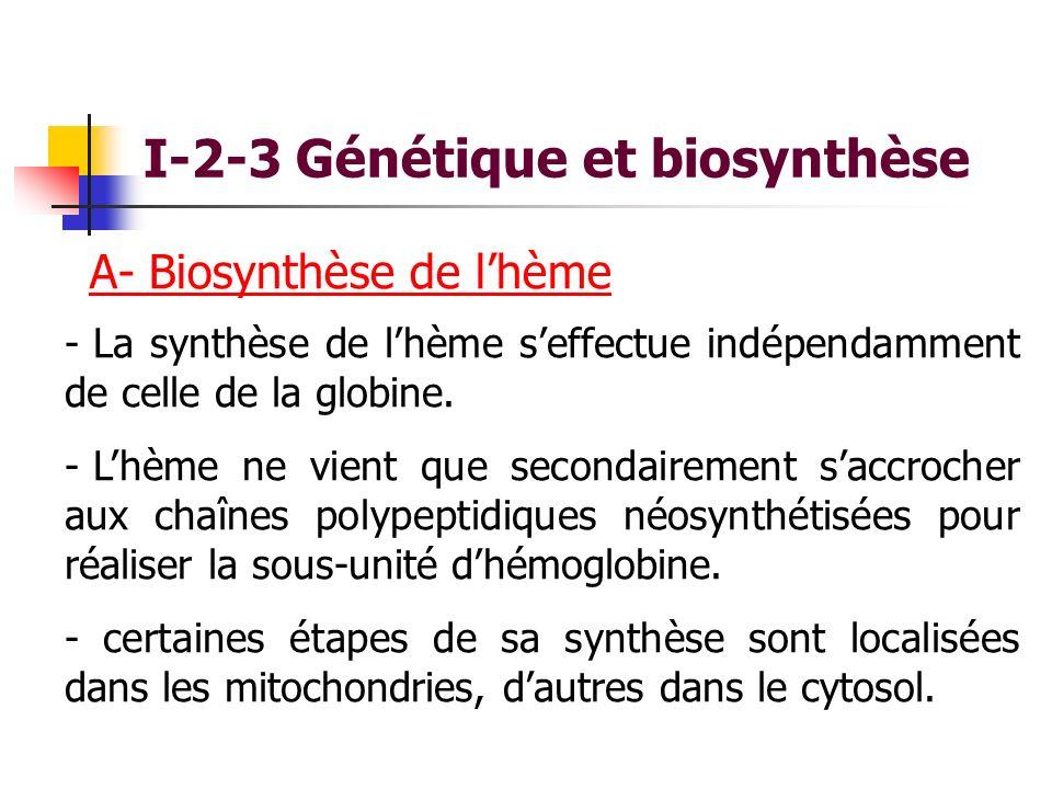 I-2-3 Génétique et biosynthèse A- Biosynthèse de lhème - La synthèse de lhème seffectue indépendamment de celle de la globine. - Lhème ne vient que se