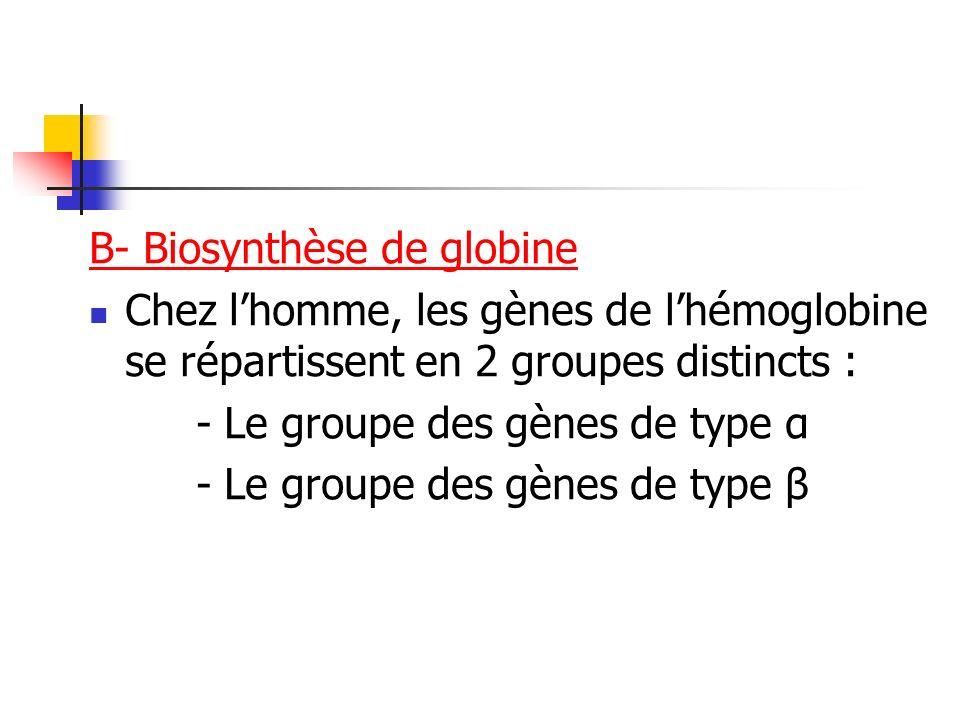 B- Biosynthèse de globine Chez lhomme, les gènes de lhémoglobine se répartissent en 2 groupes distincts : - Le groupe des gènes de type α - Le groupe
