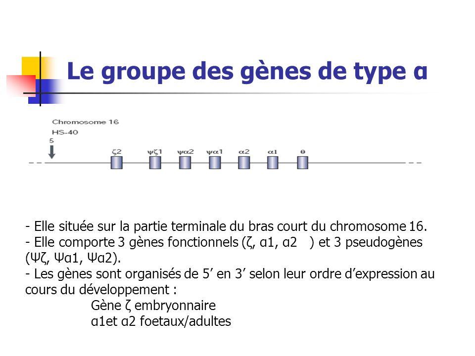 Le groupe des gènes de type α - Elle située sur la partie terminale du bras court du chromosome 16. - Elle comporte 3 gènes fonctionnels (ζ, α1, α2 )
