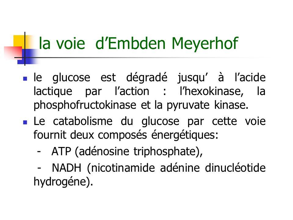 la voie dEmbden Meyerhof le glucose est dégradé jusqu à lacide lactique par laction : lhexokinase, la phosphofructokinase et la pyruvate kinase. Le ca