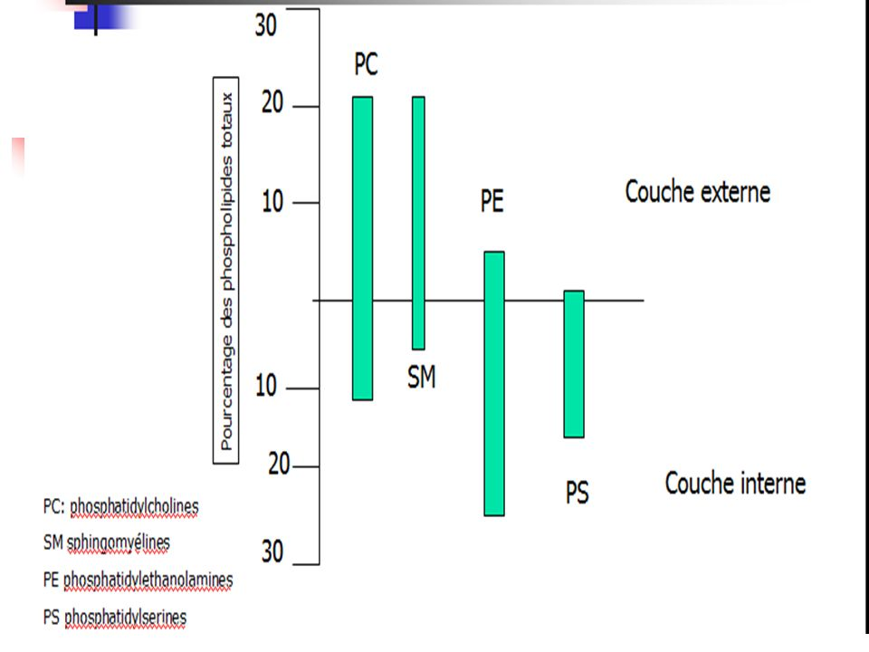 B - Cholestérol non estérifié 43% : Sur les deux couches.