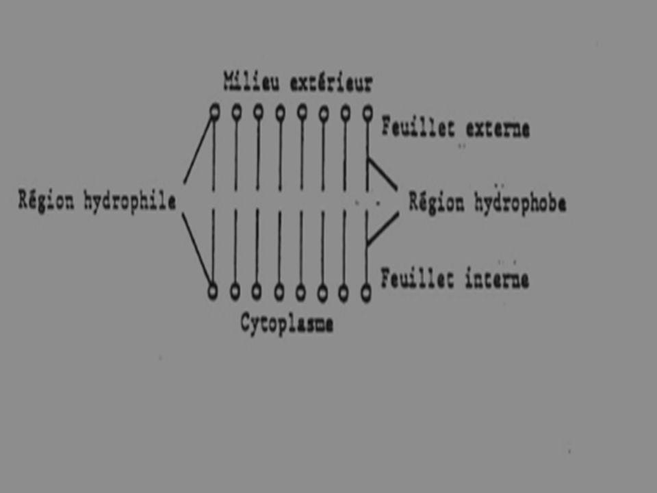 2-Les glucides forment un film à la surface externe de la membrane.