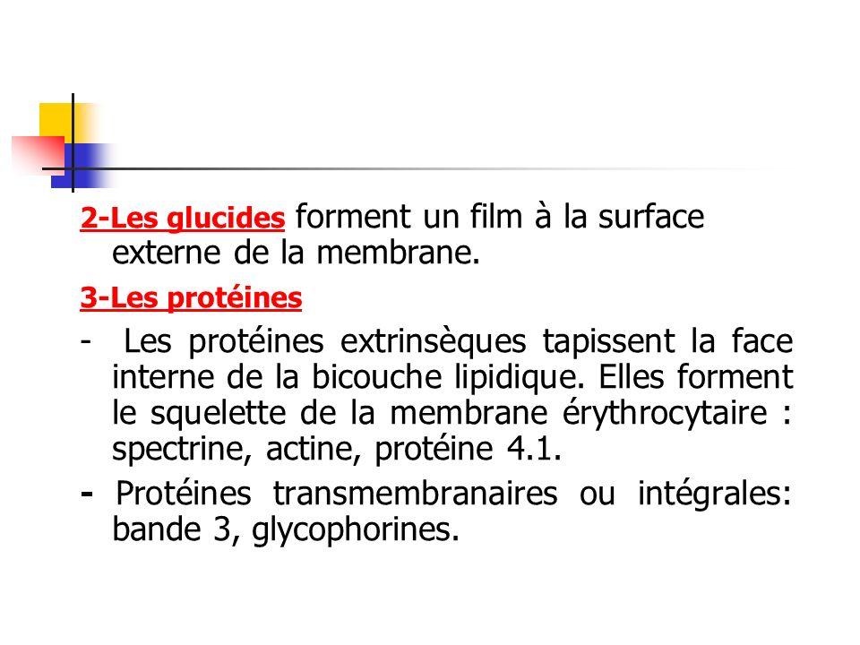 2-Les glucides forment un film à la surface externe de la membrane. 3-Les protéines - Les protéines extrinsèques tapissent la face interne de la bicou