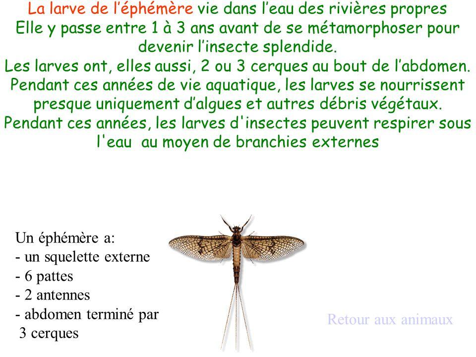 Un éphémère a: - un squelette externe - 6 pattes - 2 antennes - abdomen terminé par 3 cerques Retour aux animaux La larve de léphémère vie dans leau d