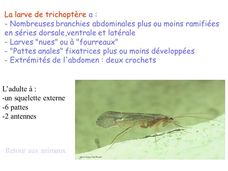 Ladulte à : -un squelette externe -6 pattes -2 antennes Retour aux animaux La larve de trichoptère a : - Nombreuses branchies abdominales plus ou moin