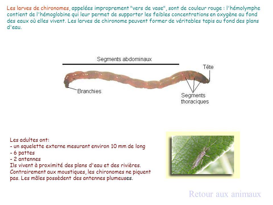 Les larves de chironomes, appelées improprement