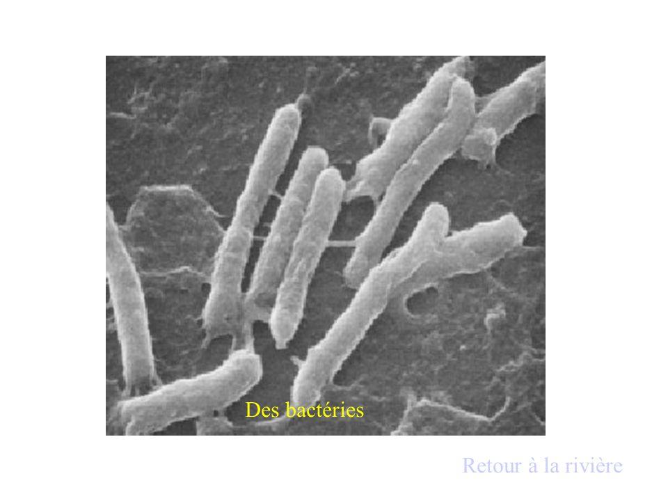 Bactéries : organismes microscopiques normalement présents dans le milieu qui : - se nourrissent de matières organiques quelles dégradent.matières organiques - se multiplient très rapidement( le nombre peut doubler en 30 minutes Environ) si la nourriture est abondante.
