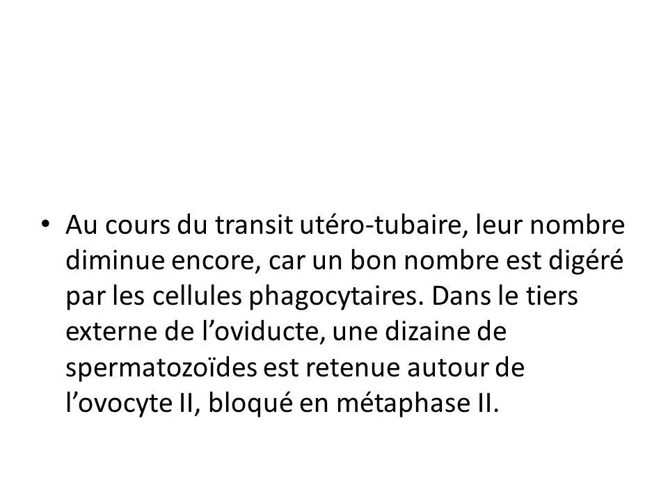 Au cours du transit utéro-tubaire, leur nombre diminue encore, car un bon nombre est digéré par les cellules phagocytaires. Dans le tiers externe de l