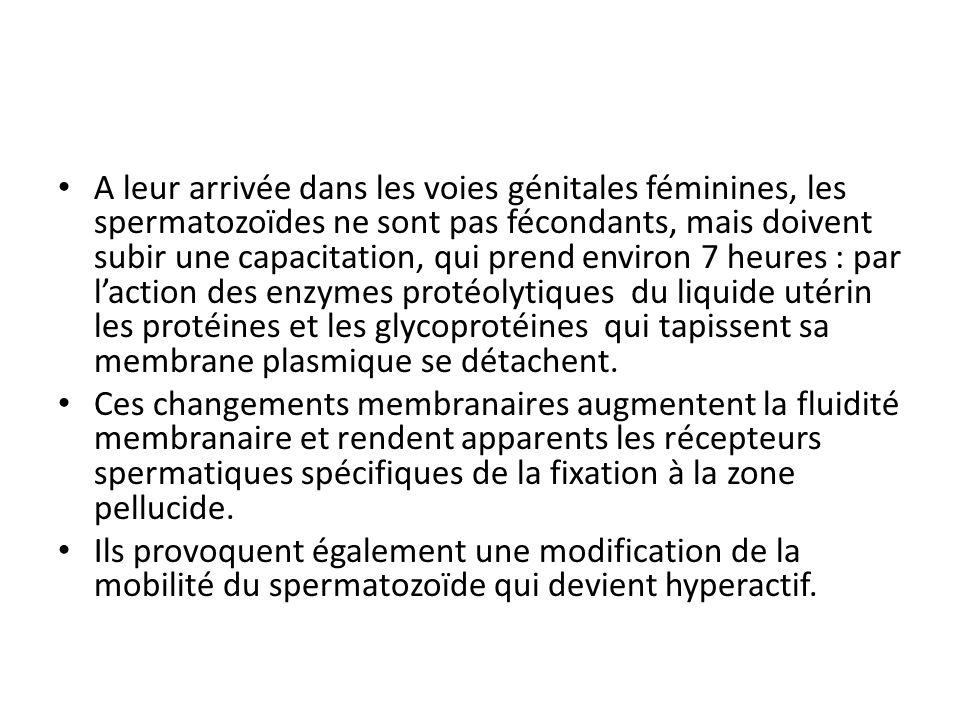 A leur arrivée dans les voies génitales féminines, les spermatozoïdes ne sont pas fécondants, mais doivent subir une capacitation, qui prend environ 7