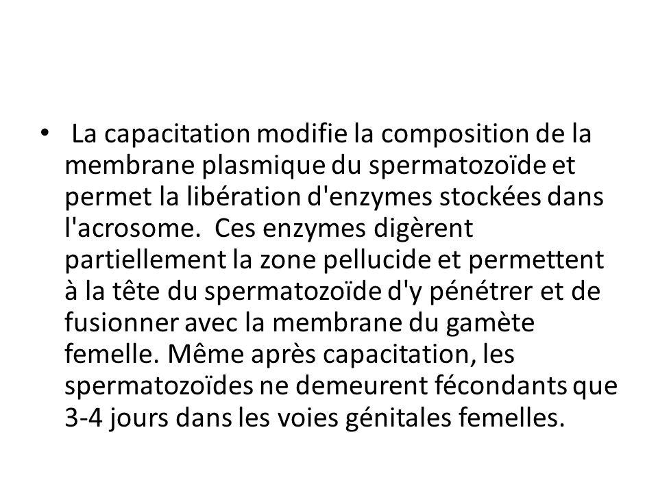 La capacitation modifie la composition de la membrane plasmique du spermatozoïde et permet la libération d'enzymes stockées dans l'acrosome. Ces enzym