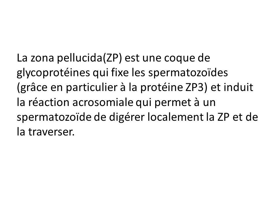 La zona pellucida(ZP) est une coque de glycoprotéines qui fixe les spermatozoïdes (grâce en particulier à la protéine ZP3) et induit la réaction acros