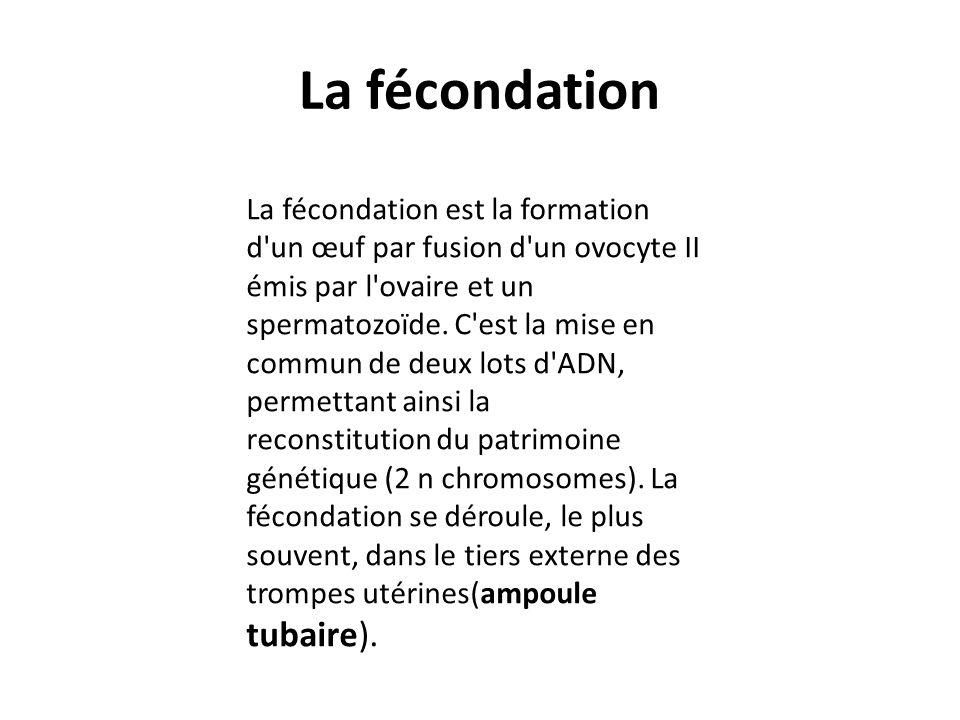 La fécondation La fécondation est la formation d'un œuf par fusion d'un ovocyte II émis par l'ovaire et un spermatozoïde. C'est la mise en commun de d