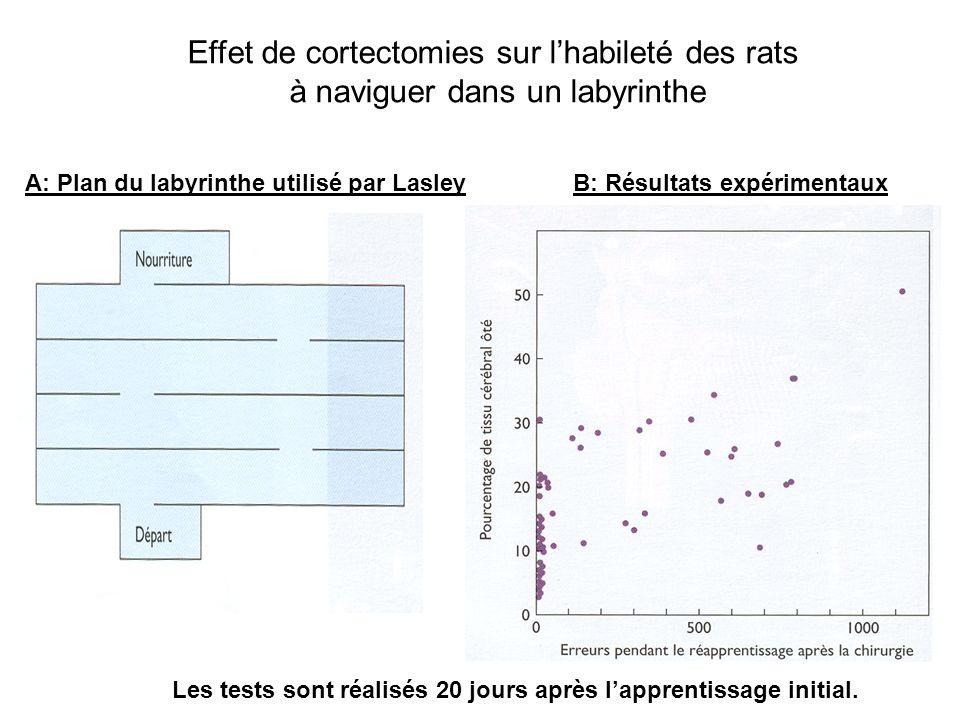 A: Plan du labyrinthe utilisé par Lasley Effet de cortectomies sur lhabileté des rats à naviguer dans un labyrinthe B: Résultats expérimentaux Les tes