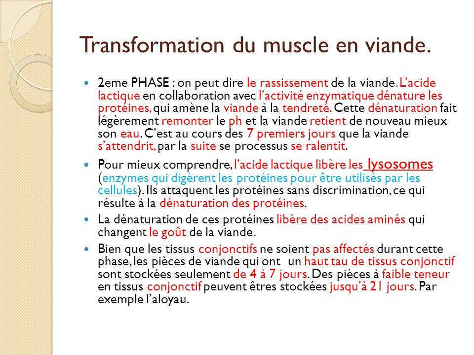 Transformation du muscle en viande. 2eme PHASE : on peut dire le rassissement de la viande. Lacide lactique en collaboration avec lactivité enzymatiqu