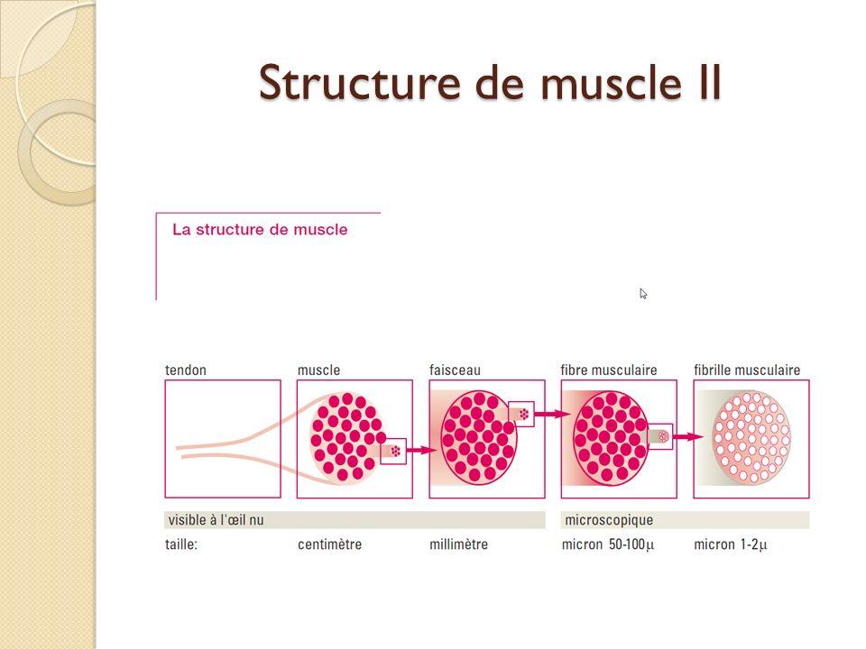 S tructure de muscle II