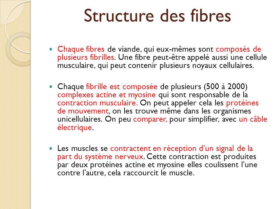 Structure des fibres Chaque fibres de viande, qui eux-mêmes sont composés de plusieurs fibrilles. Une fibre peut-être appelé aussi une cellule muscula
