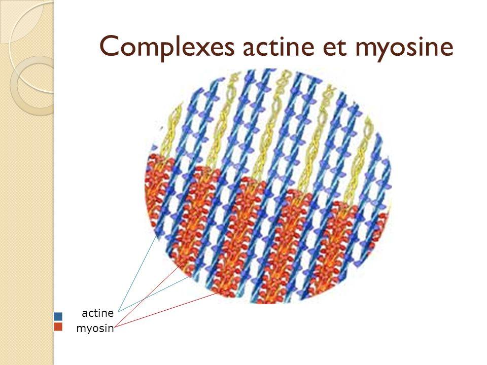 Complexes actine et myosine actine myosin