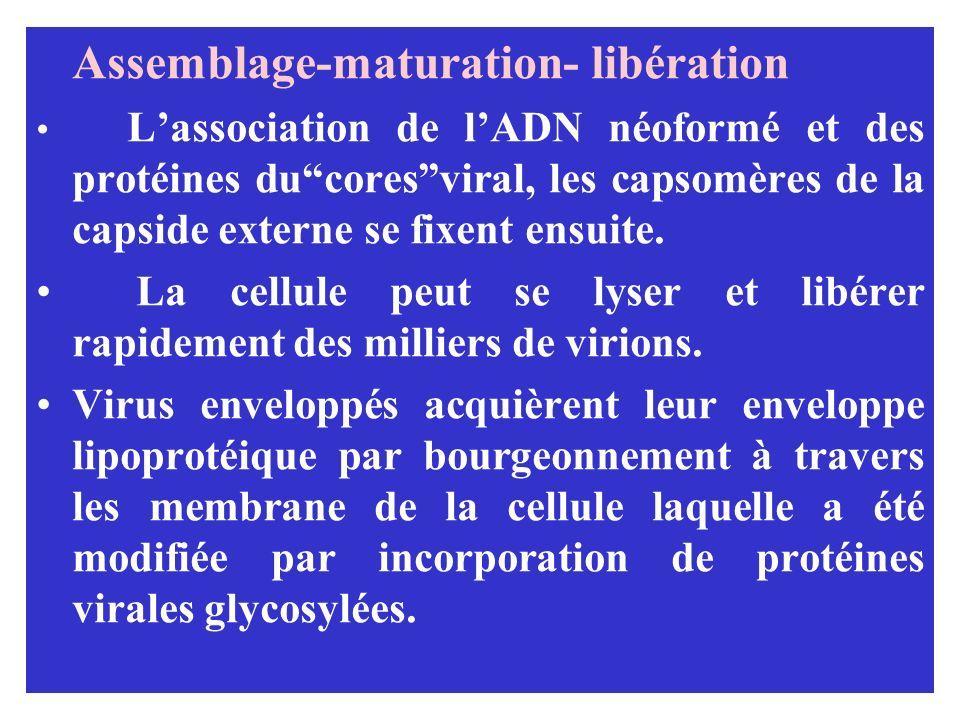 Assemblage-maturation- libération Lassociation de lADN néoformé et des protéines ducoresviral, les capsomères de la capside externe se fixent ensuite.